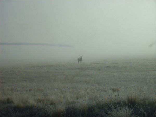Elk stag in the fog at Valle Grande