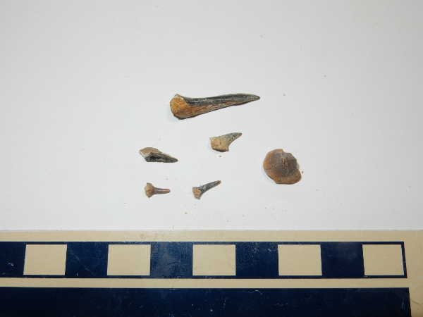 Fish teeth in the           Mancos Formation