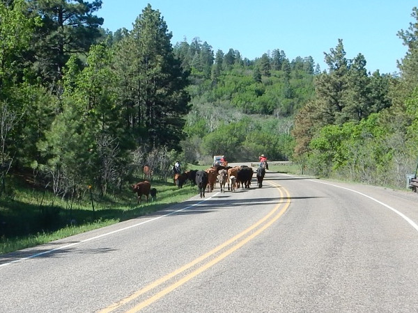 Senorita Canyon cattle drive